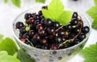 Сорт смородины черной: Перезвон (Романтика)