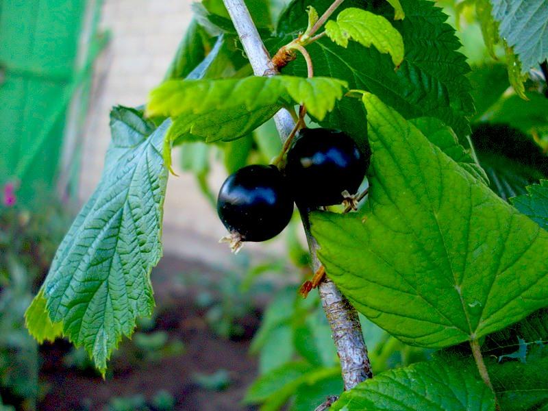 Сорт смородины черной: Подарок октябрю