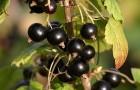 Сорт смородины черной: Поэзия (Нежная)