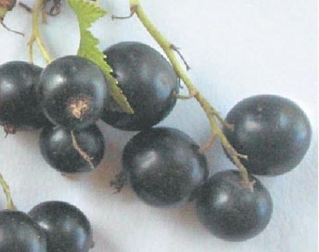Сорт смородины черной: Ранняя Потапенко
