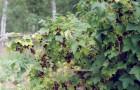 Сорт смородины черной: Руслан