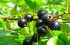 Сорт смородины черной: Рясная