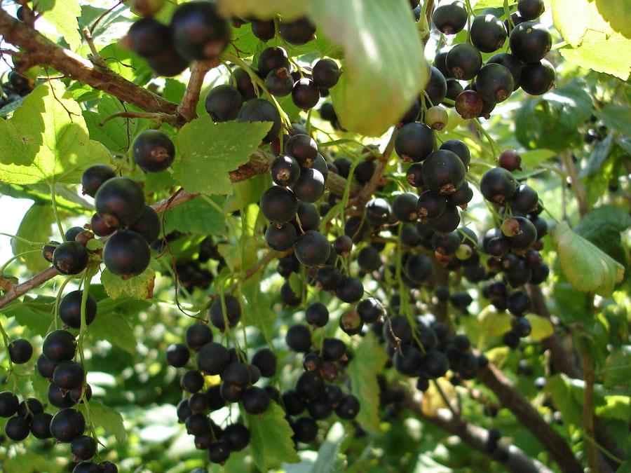 Сорт смородины черной: Шадриха