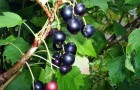 Сорт смородины черной: Саратовская крупноплодная