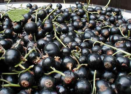 Сорт смородины черной: Селеченская