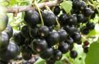 Сорт смородины черной: Сельва