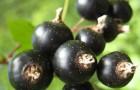 Сорт смородины черной: Сеянец голубки