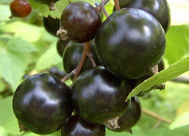 Сорт смородины черной: Сибилла