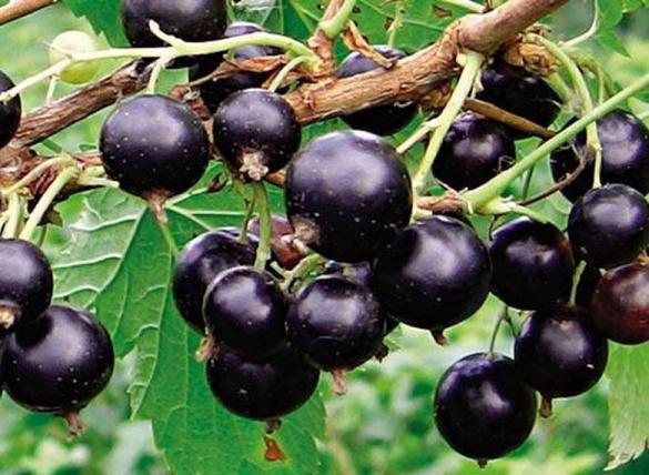 Сорт смородины черной: Сладкоплодная