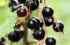 Сорт смородины черной: Славянка