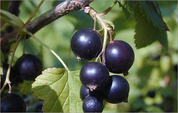 Сорт смородины черной: Софья