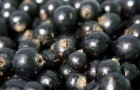 Сорт смородины черной: Соломон
