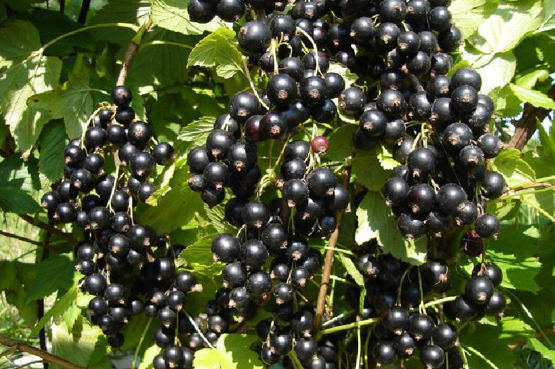Сорт смородины черной: Сперанта