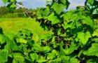 Сорт смородины черной: Сударушка