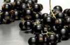Сорт смородины черной: Сумрак