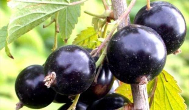 Сорт смородины черной: Суйга