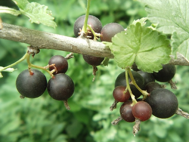 Сорт смородины черной: Светлолистная