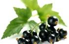 Сорт смородины черной: Тамбовская поздняя
