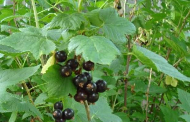Сорт смородины черной: Тамерлан