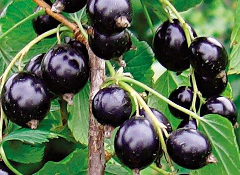 Сорт смородины черной: Трилена (Алёнушка, Чудо)