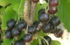 Сорт смородины черной: Валовая