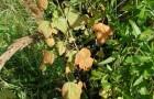Сорт смородины черной: Василиса