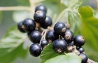 Сорт смородины черной: Верность (Былинная)