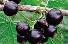 Сорт смородины черной: Выставочная