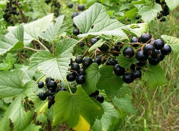 Сорт смородины черной: Якутская