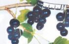 Сорт смородины черной: Янжаи
