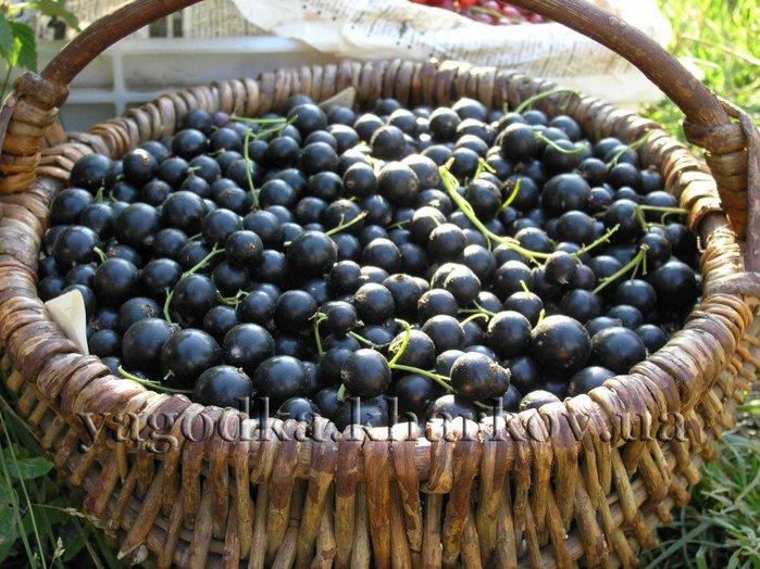 Сорт смородины черной: Загляденье