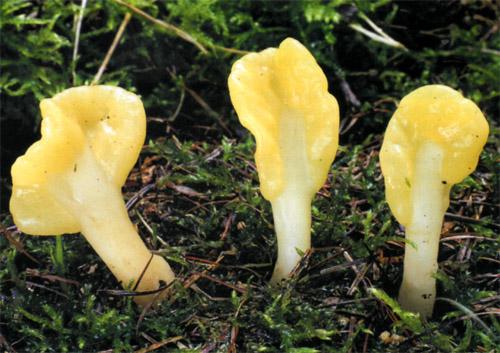Спатулярия желтоватая