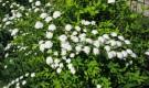 Формирование и обрезка свободно растущей живой изгороди