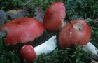 Сыроежка жгуче-едкая