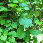 Виноград амурский ( V. amurensis)