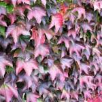 девичий виноград триостренный (Parthenocissus tricuspidata)