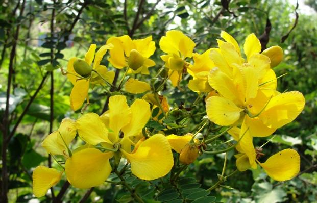 кассия крылатая (Cassia alata)