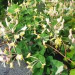Жимолость вьющаяся (Lonicera peridymenum)
