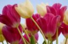 Белый и розовый