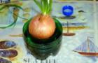 Что делать если лук начал рано прорастать?