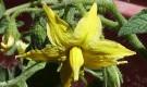 Что делать если опадают цветки и завязь?