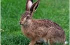 Что делать если зайцы погрызли верхушки деревьев?