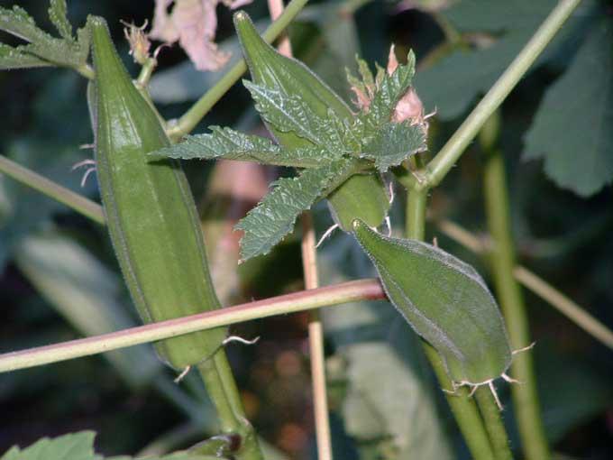 Что за растение бамия?