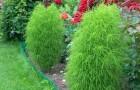 Что за растение кохия?
