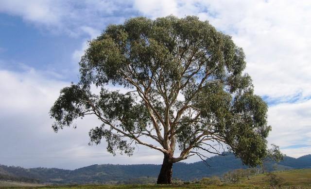Деревья намеренно отращивают невкусные листья
