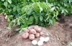 Как не пропустить важные этапы в выращивание картофеля?
