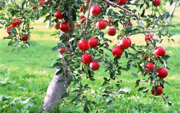 Как определить сорт яблони
