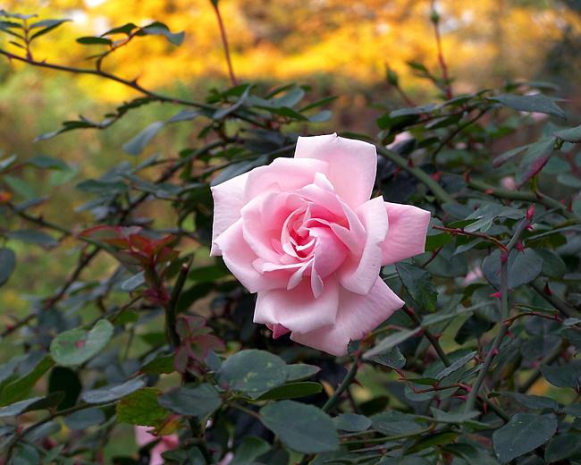 Как подготовить розы к зимовке?