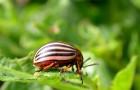 Как правильно бороться с колорадским жуком?