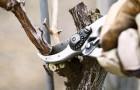 Как правильно делать обрезку деревьев?